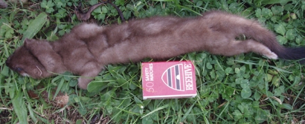 FIRST STOAT CAUGHT